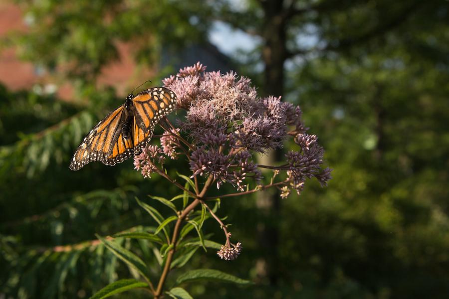 Sudbury_Neighborhood_Butterfly